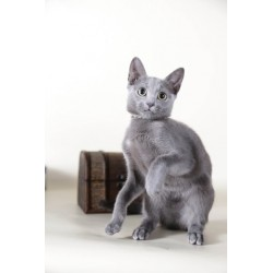 Russian Blue ALva Brunya