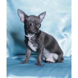 Chihuahua NY 2.3