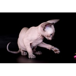 SPHYNX Alva Captain Black