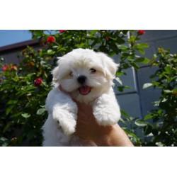 Maltese puppy Alva Tayson