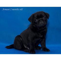 Pug puppy JUL 8.29