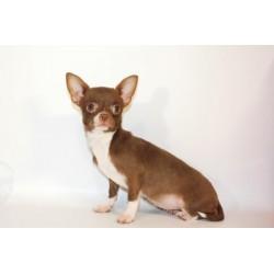 Chihuahua Alva Laura