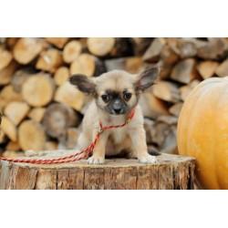 Chihuahua Alva Linda