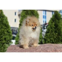 Pomeranian Alva Penny