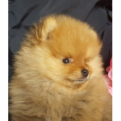 Pomeranian Alva Potap