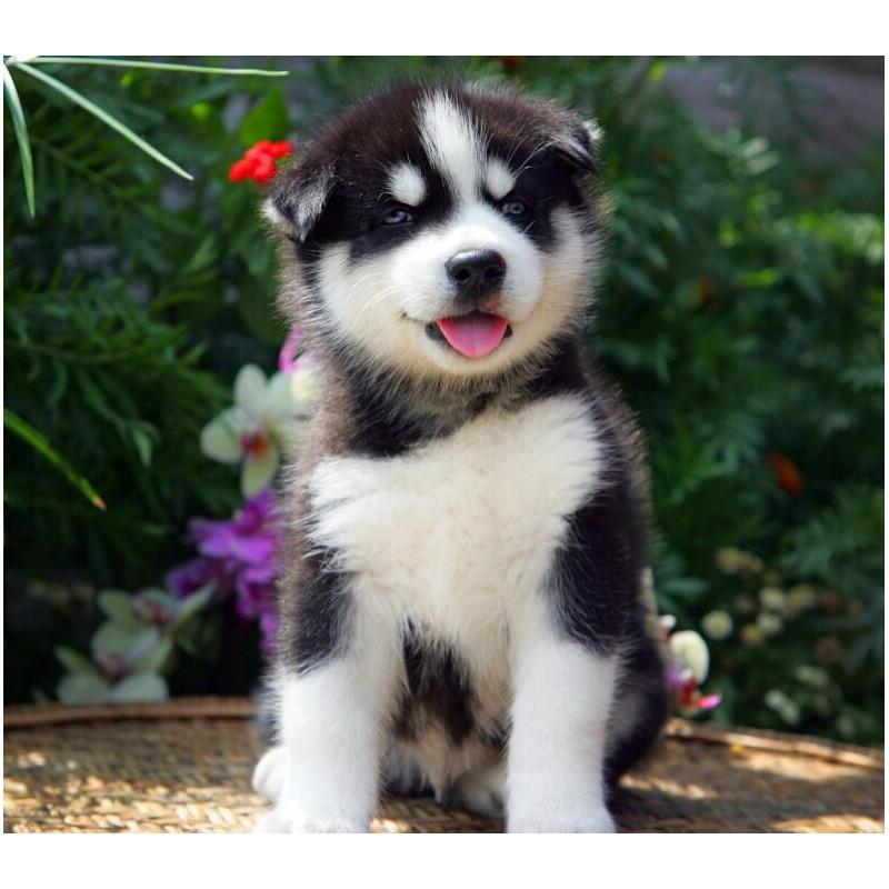 Image Result For Siberian Husky Items