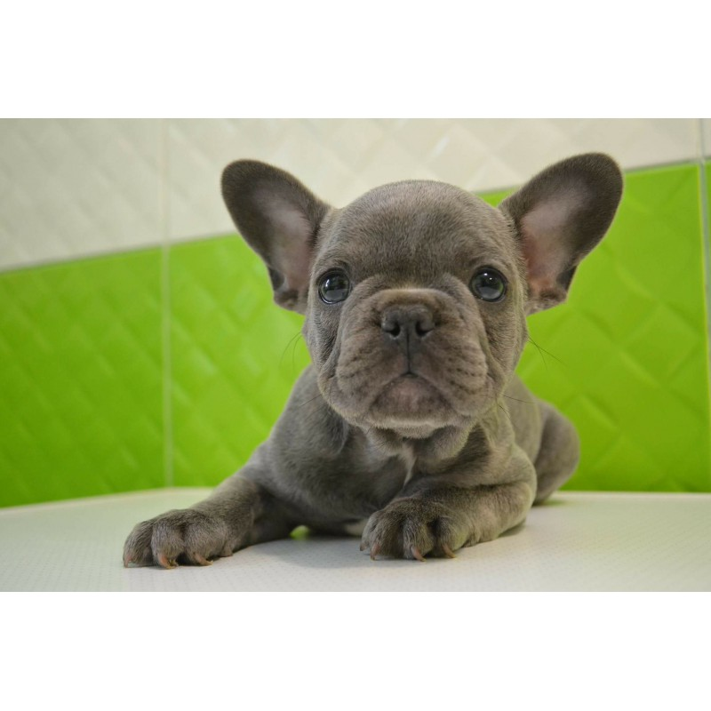 French Bulldog Rare Blue Color Kittens Amp Puppies