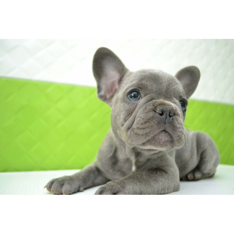 French Bulldog Rare Blue Color Ny 87