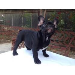 French bulldog NS 8.23