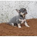 Chihuahua TK 6.13