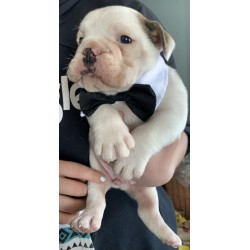 English Bulldog Sparrow puppies are in PA!