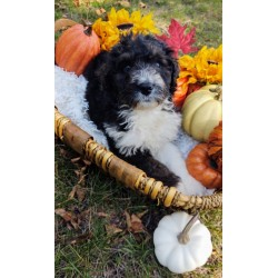 Bernedoodle Blanca Puppy is in Chicago
