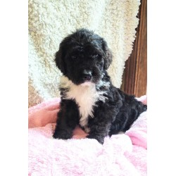 Bernedoodle Dovey Puppy is in Chicago
