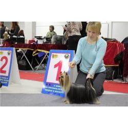 Yorkshire Terrier ZE