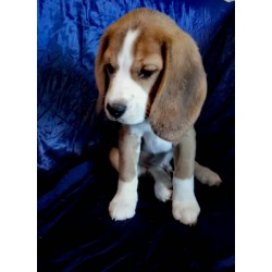 Beagle Alva Brown Sugar