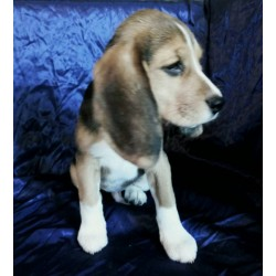 Beagle Alva Big Winner