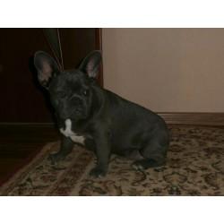 French bulldog NK 8.1