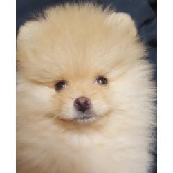 Pomeranian Alva Winnie