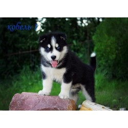 Siberian Husky NS 8.5