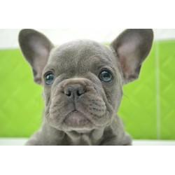 Rare blue color! French bulldog NY 8.7