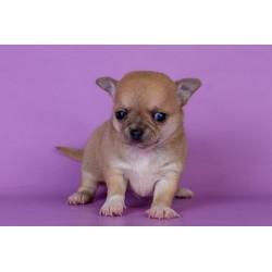 Chihuahua Alva Marvel