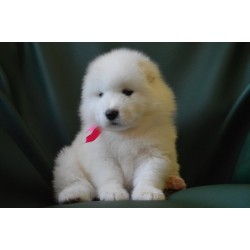 Samoyed Alva Fortuna