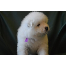 Samoyed Alva Flesh Royal