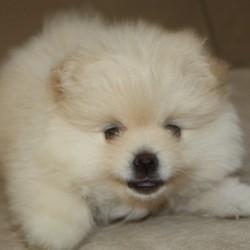 Pomeranian A 9.19